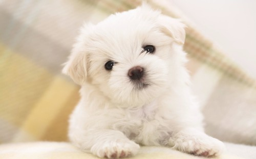 maltese_puppy-wide